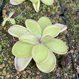 "Pinguicula rectifolia ""MR"" x emarginata Potted"