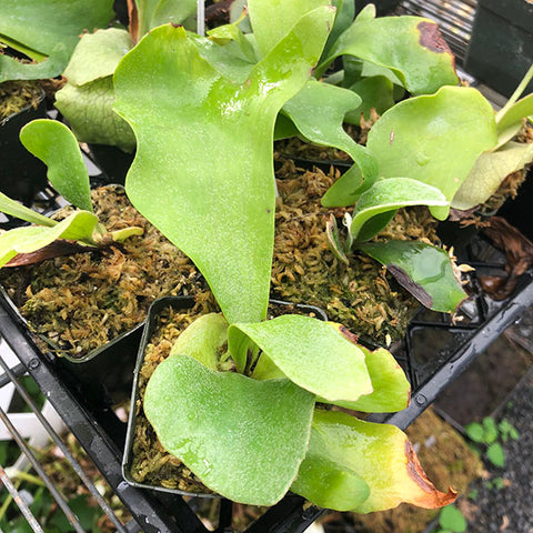 Platycerium x 'Netherlands' Staghorn Fern Potted