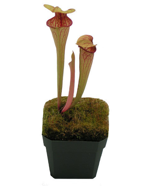 "Sarracenia oreophila ""UCB x Sand Mountain"" (M-SG) Deluxe Potted"