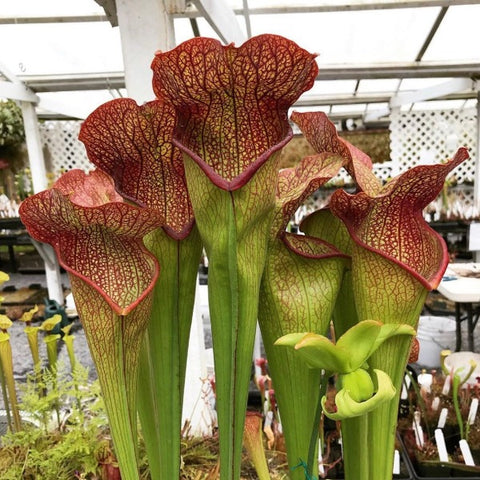Sarracenia ( 'Royal Red' x purpurea 'Red Ruffles' ) x ( 'Deep Throat' ) Seed Pack (24 seeds/pack)