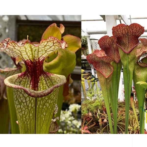 Sarracenia ( 'Leah Wilkerson' ) x ( 'Deep Throat' ) Seed Pack (24 seeds/pack)