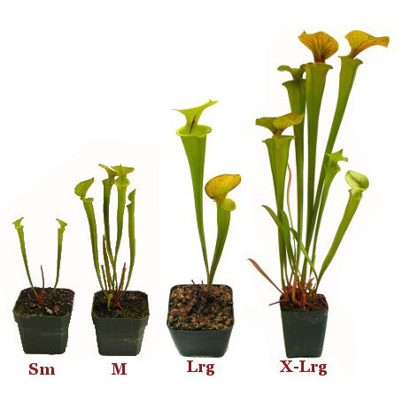 Sarracenia flava (SG) Deluxe Potted