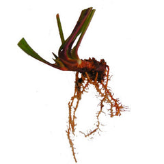 Sarracenia Rhizome Bare-Root