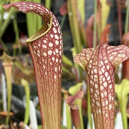 "Sarracenia leucophylla  x minor ""raised windows"" (S-SG) Potted"