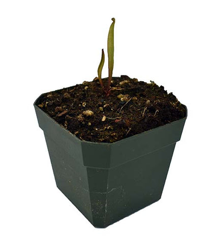 Sarracenia minor (S-SG) Potted