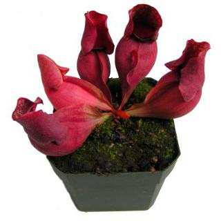 Sarracenia purpurea ssp. venosa Seed Pack (24 seeds/pack)