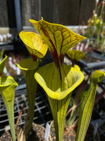 "Sarracenia flava v. ornata ""Bulloch, Co Damon's Clone"" Bare-Root"