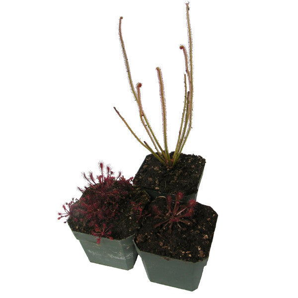 Temperate Sundew Collection Deluxe Potted (3 Plants)