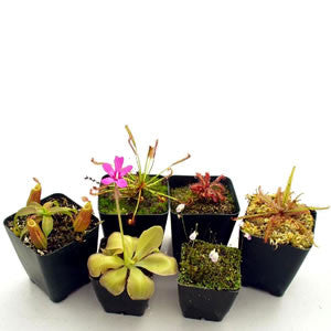 Tropical Terrarium/Windowsill Collection Deluxe (6 Plants)
