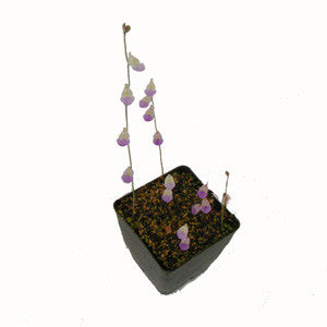Utricularia livida Deluxe Potted