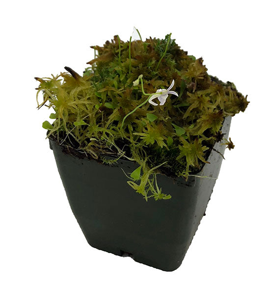 Utricularia sandersonii with Live Sphagnum Potted