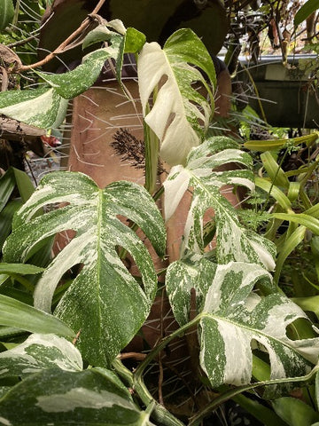 Monstera borsigiana albo variegated