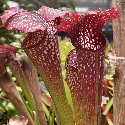 Sarracenia ( leucophylla 'red' x minor 'giant' ) x courtii Seed Pack (24 seeds/pack)