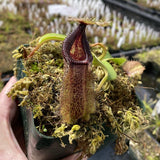 Nepenthes robcantleyi x hamata (M-SG) Potted