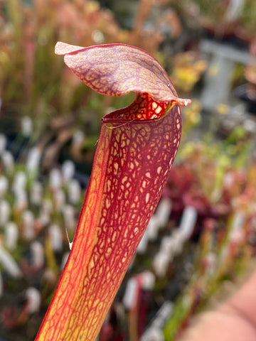 Sarracenia ( leucophylla 'Red' x minor 'giant' ) x 'Extreme Unction' (SG) Potted