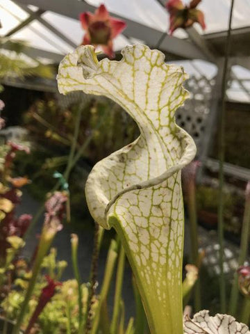 Sarracenia leucophylla 'Hurricane Creek' (S-SG) Potted