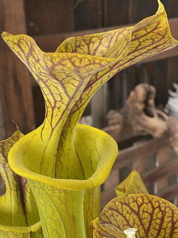 "Sarracenia flava v. cuprea ""Bill Hoyer"" x flava 'Towering Inferno' Seed Pack (24 seeds/pack)"