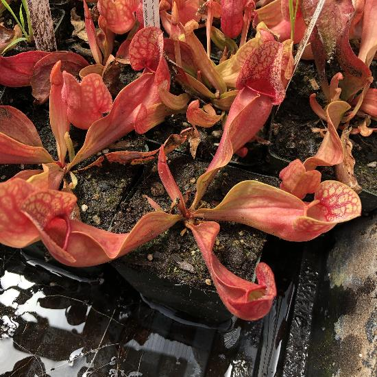 Sarracenia 'Fat Chance' (M-TC) Potted