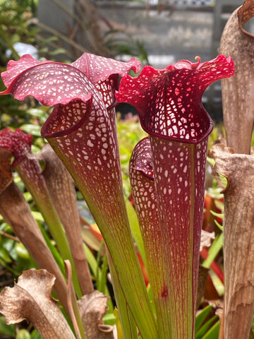 Sarracenia leucophylla 'Red & White' x minor v. okefenokeensis Bare-Root