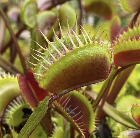 Dionaea m. 'Green Dragon' Seed Pack (12 seeds/pack)