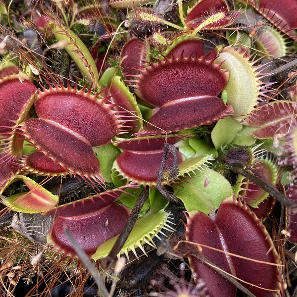 Dionaea m. 'Fine Tooth x Red' Seed Pack (12 seeds/pack)