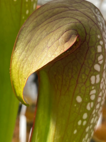 Sarracenia minor v. okeefenokeensis Bare-Root