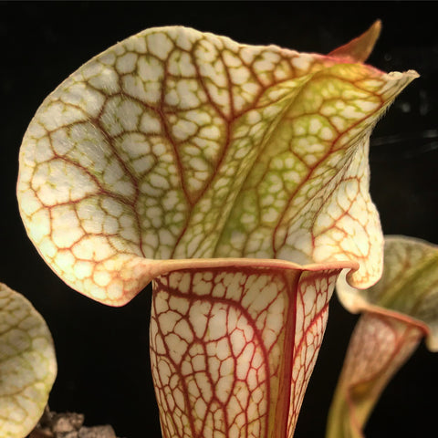 "Sarracenia x ""Skywatcher"" Bare Root"