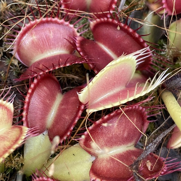 Dionaea m. 'Paradesia' Seed Pack (12 seeds/pack)