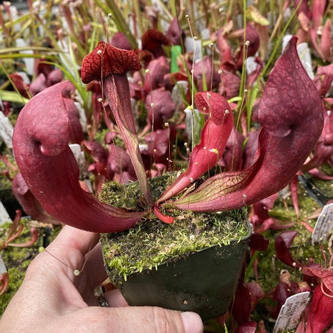 Sarracenia minor var okefenokeensis x purpurea ssp. purpurea v. montana seedgrown Potted