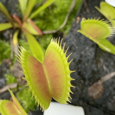 Dionaea m. Typical Seed Pack (12 seeds/pack)