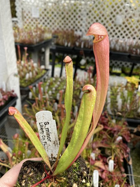 "Sarracenia minor ""Liberty, Co"" (SG) Potted"