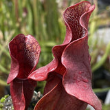 Sarracenia oreophila v ornata x purpurea 'Red Ruffles' Seed Pack (24 seeds/pack)