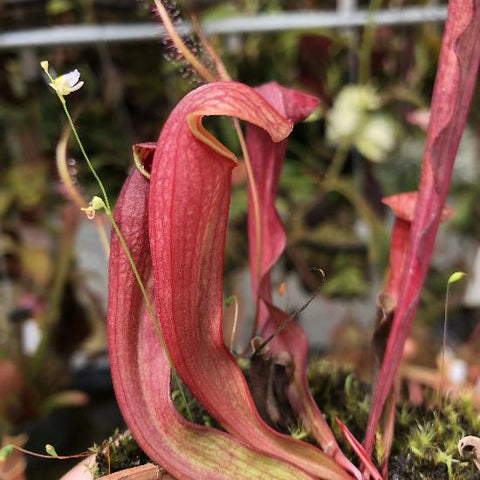 Sarracenia ( purpurea x psittacina ) x ( minor x oreophila ) (S-SG) Potted