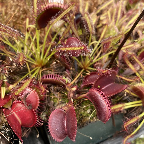 Dionaea m. 'Toothy Dark Red' seed grown Seed Pack (12 seeds/pack)