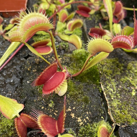 Dionaea m. 'FTS Flaming Lips' Potted