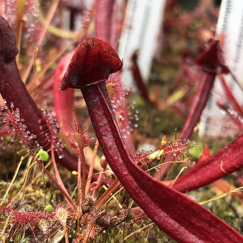 Sarracenia flava v. rubricorpora x  ( x 'Red Ruffles' ) (S-SG) Potted