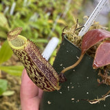 Nepenthes spectabilis x platychila (S-TC) Potted