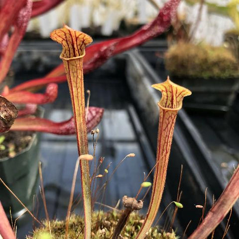 "Sarracenia rubra ssp. gulfensis ""Dark Red"" x flava v. rubricorpora (SG) Potted"