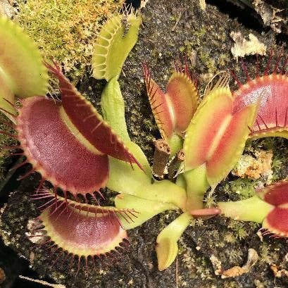 Dionaea m. 'Colorado Hardy' Seed Pack (12 seeds/pack)