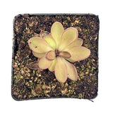 "Pinguicula crassifolia x moranensis ""Vera Cruz"" Potted"