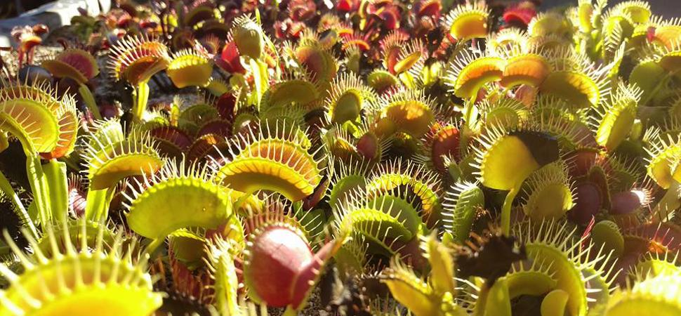 Winter Growing Tuberous Sundew