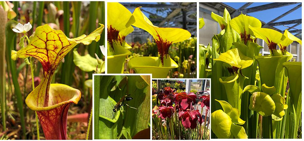 Sarracenia American Pitcher Plants