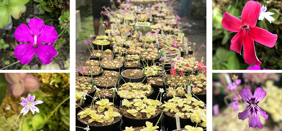 Pinguicula or Butterworts