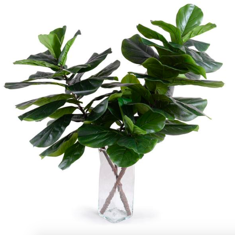 fiddle leaf fig branches