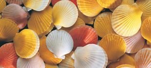 Frozen New Zealand Queen Scallops, price per 1kg bag
