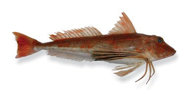 Wild Gurnard (Red) Fillets, boneless, skinless, 500g, price/pack, frozen