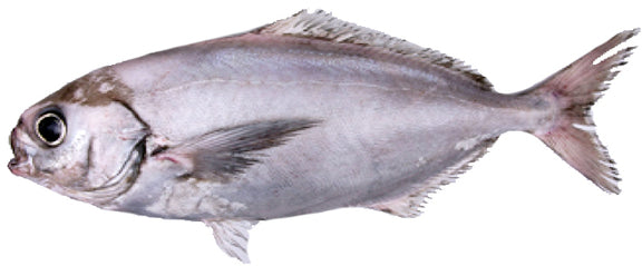 Wild White Warehou (Trevella) Fillets, Boneless, skin-on, price/640-700g pack, frozen