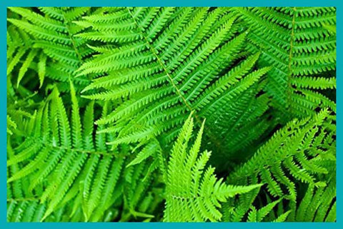 Plants That clean the air in your home Boston Fern