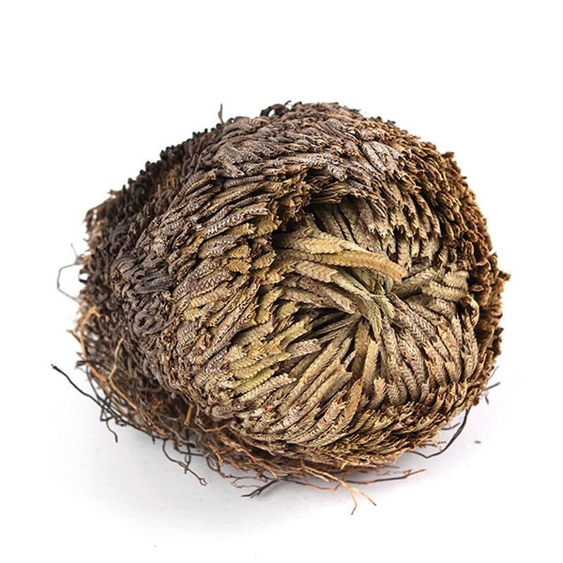 Rose of Jericho Live Plant