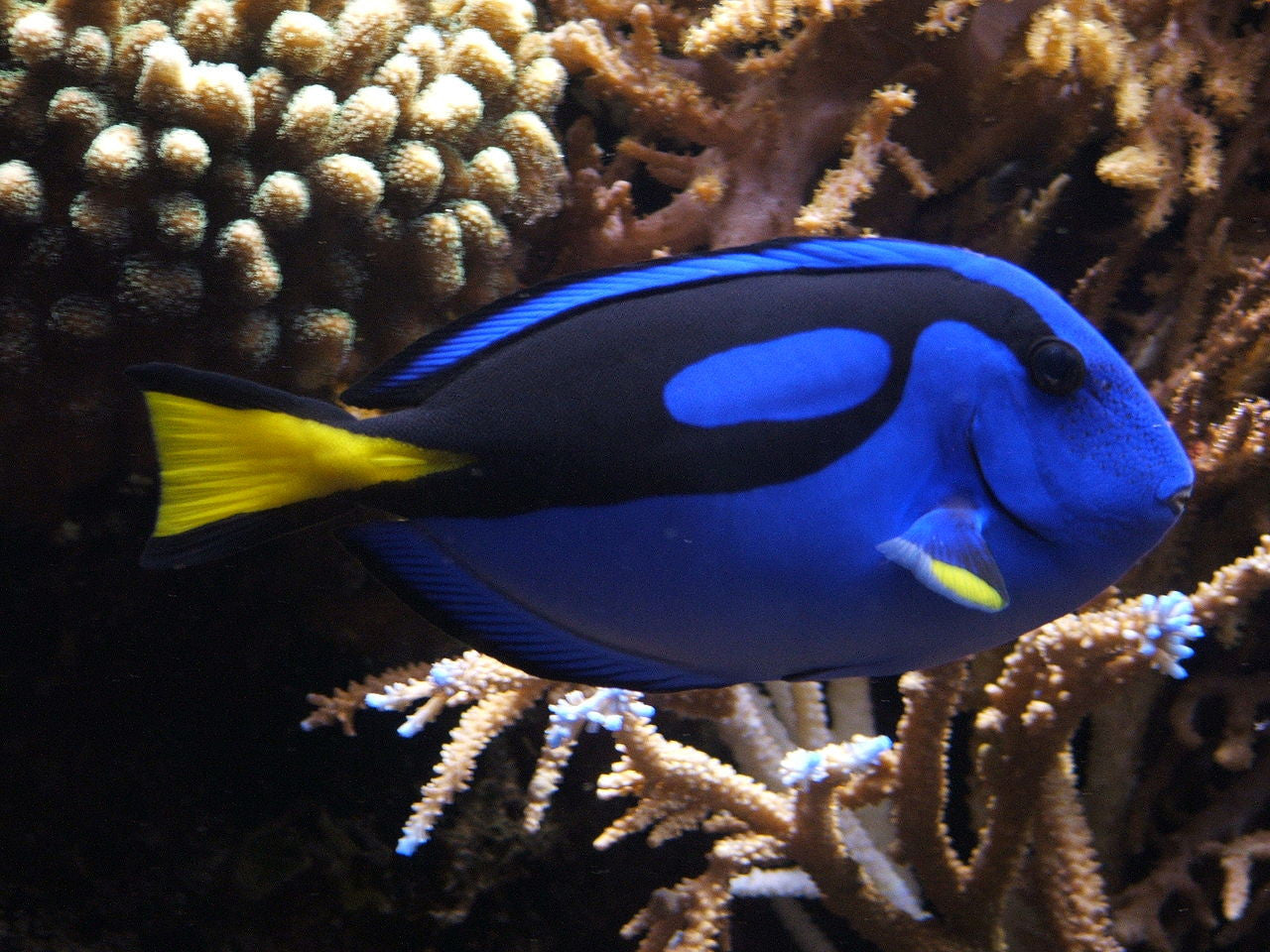 finding dory what you need to know about a blue tang in a
